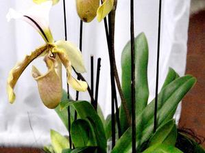 Multiplication des orchidées d'intérieur