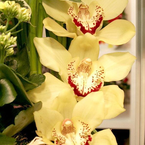 Orchidées d'altitude (dites de serre froide) Cymbidium