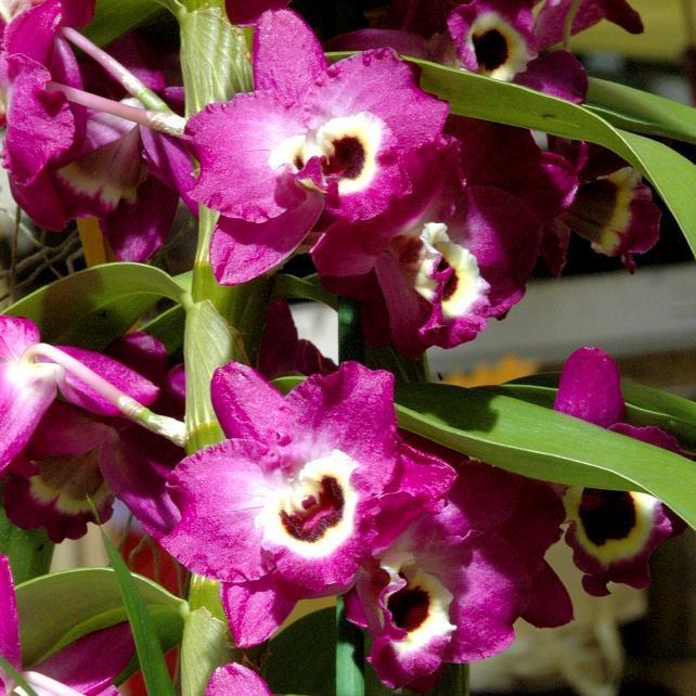 Orchidées d'altitude (dites de serre froide) Dendrobium type nobile
