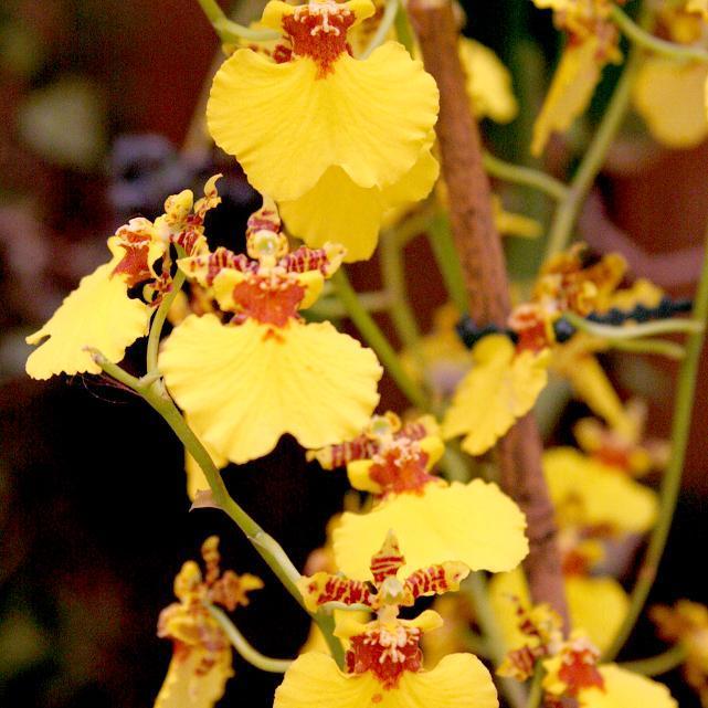 Orchidées d'altitude (dites de serre froide) Oncidium