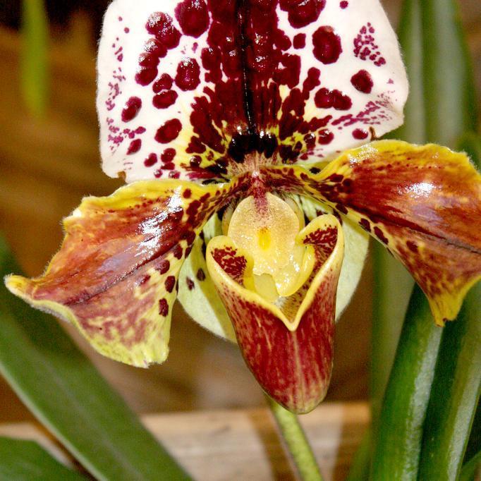 Orchidées de serre tempérée Paphiopedilum (Sabot de Vénus)