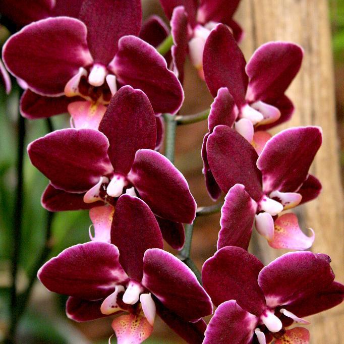 Orchidées de serre chaude Phalaenopsis