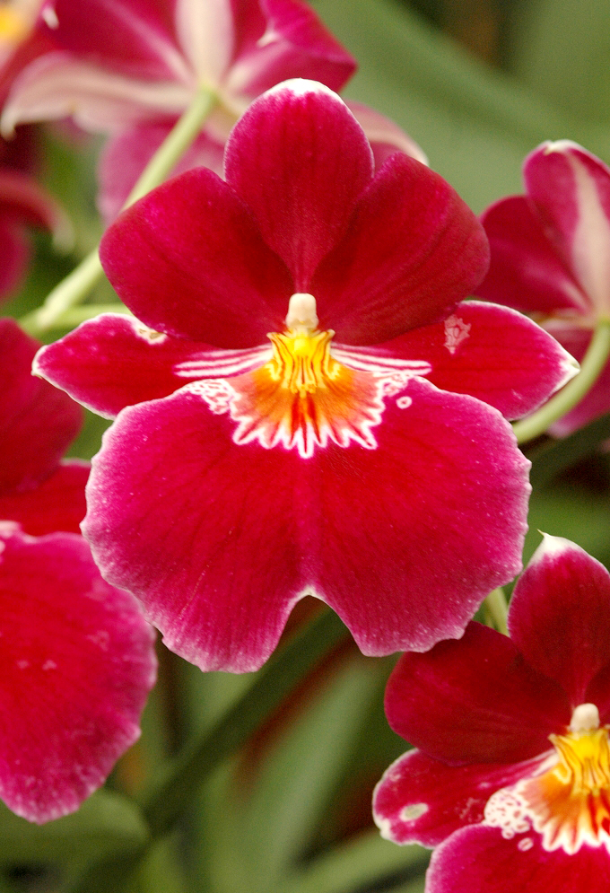 orchid u00e9es   cultiver et entretenir  u2013 ooreka