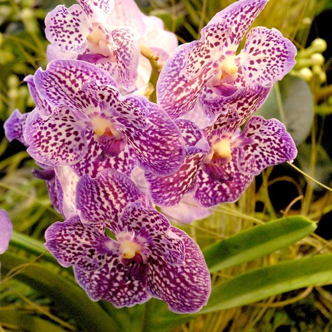 Orchid es cultiver et entretenir ooreka for Entretenir une orchidee en pot