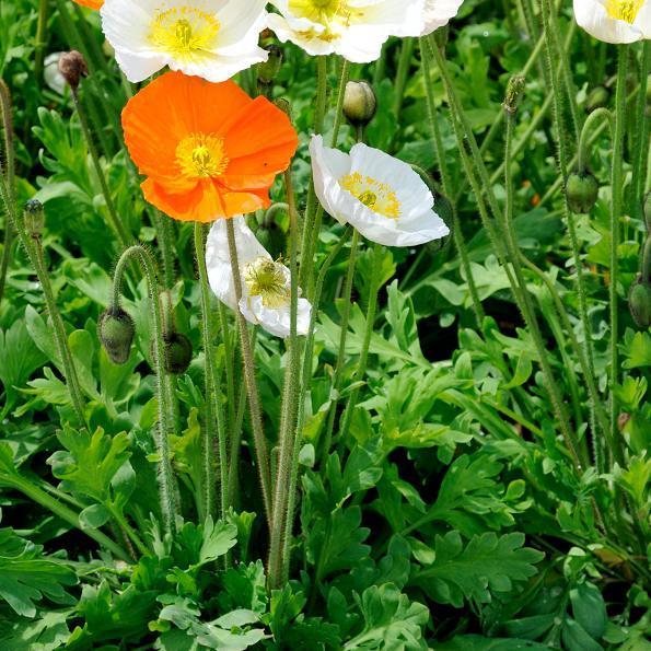 Les pavots vivaces Pavot alpin (Papaver alpinum)