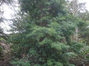 Plantation du podocarpus