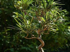 Culture et entretien du podocarpus