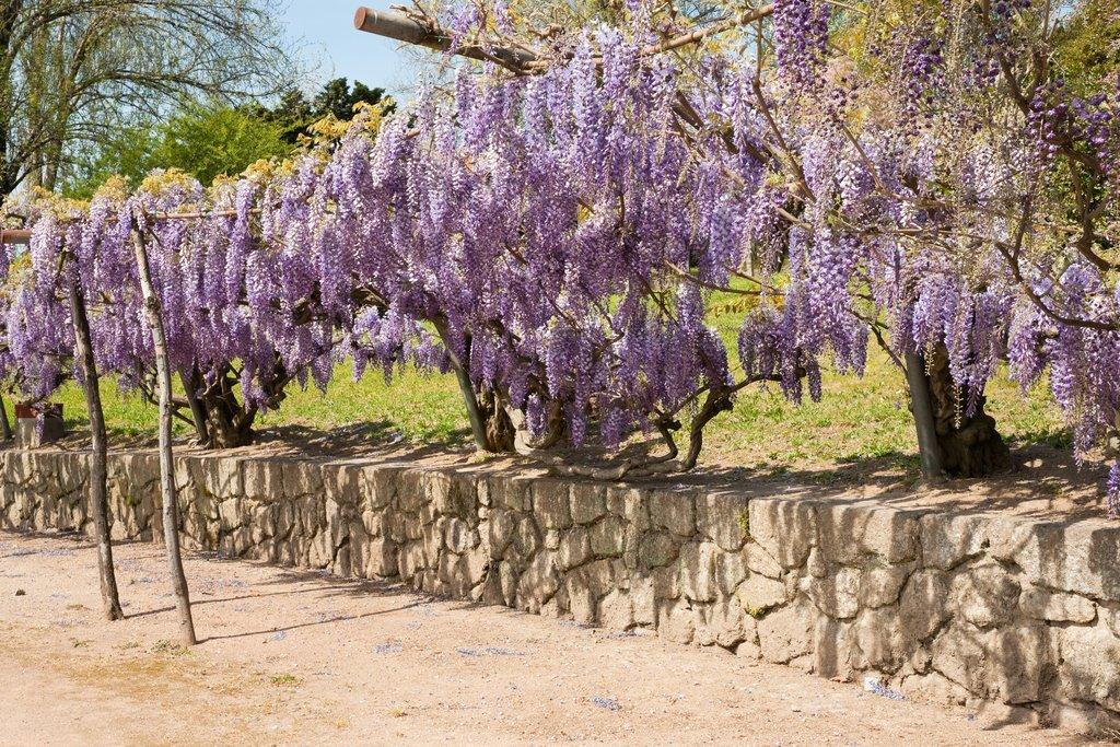 glycine : planter et tailler – ooreka