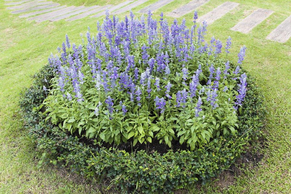 Sauge ornementale planter et cultiver ooreka for Type de plante