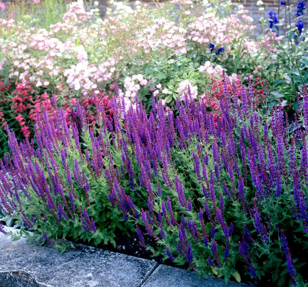 sauge ornementale planter et cultiver ooreka