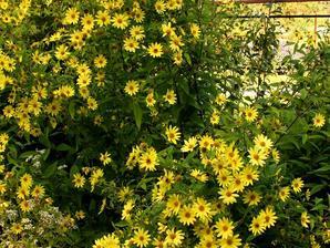 Semis et plantation du tournesol et autres soleils
