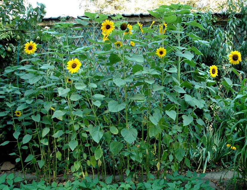 tournesol planter et cultiver ooreka