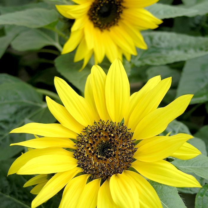 Espèces annuelles hautes à très hautes Soleil, tournesol (Helianthus annuus)