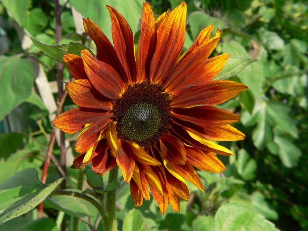 Quand Faut Il Semer Les Tournesols tournesol : planter et cultiver – ooreka