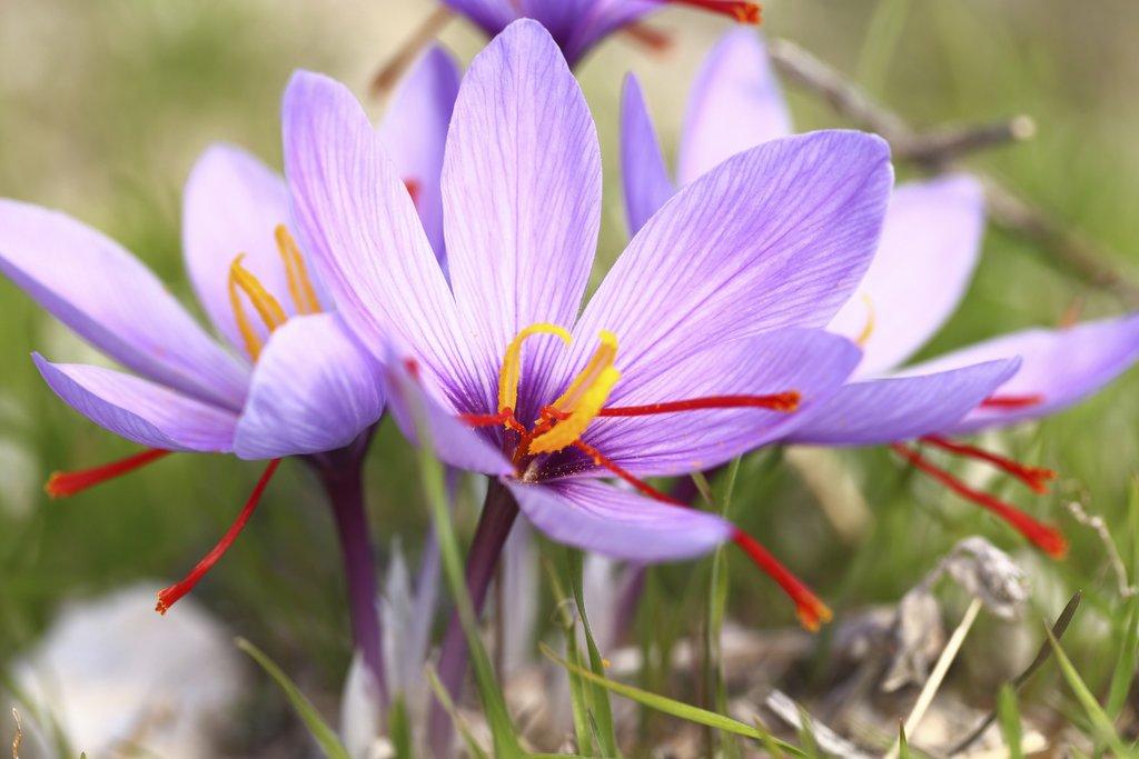 crocus safran   planter et cultiver  u2013 ooreka