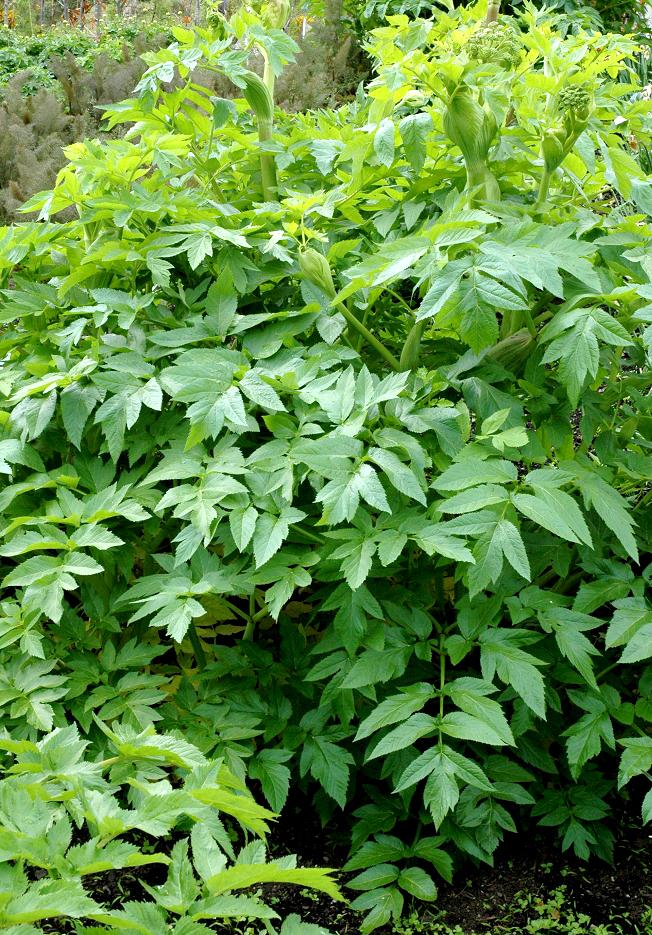 Angélique : planter et récolter - Ooreka