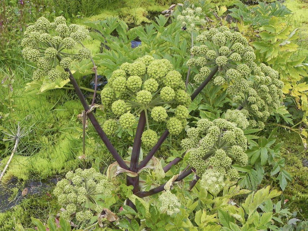 Ang lique planter et r colter ooreka - Association plantes aromatiques entre elles ...