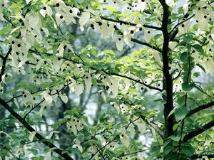 Culture et entretien de l'arbre aux mouchoirs