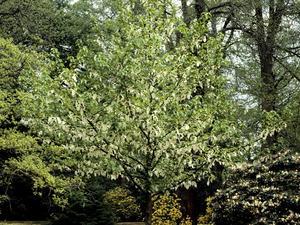 Plantation de l'arbre aux mouchoirs
