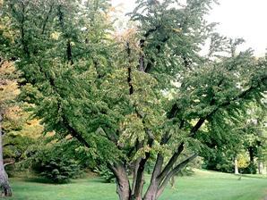 Plantation de l'arbre caramel