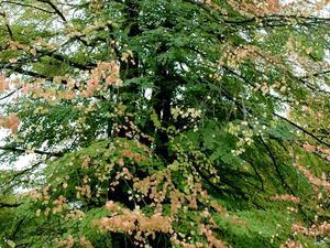 Multiplication de l'arbre caramel