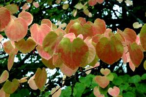 Culture et entretien de l'arbre caramel