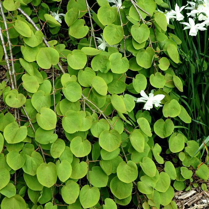 Arbre caramel (Cercidiphyllum japonicum)