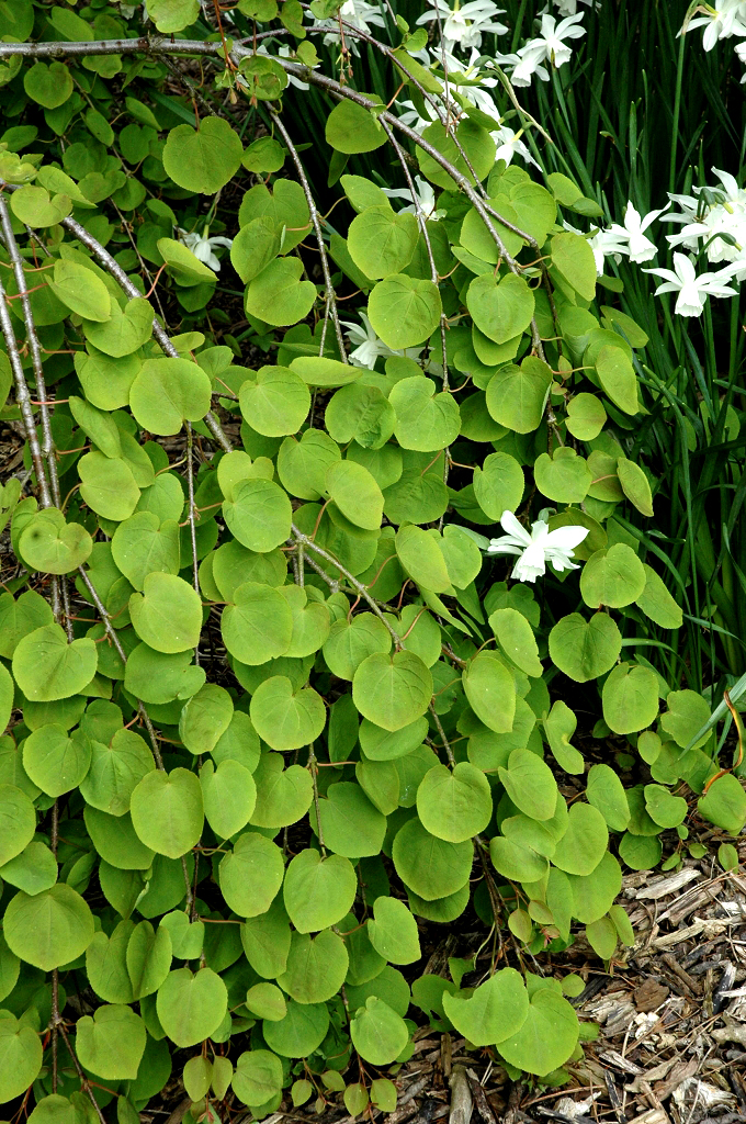 Arbre caramel planter et entretenir ooreka for Plante 4 images 1 mot