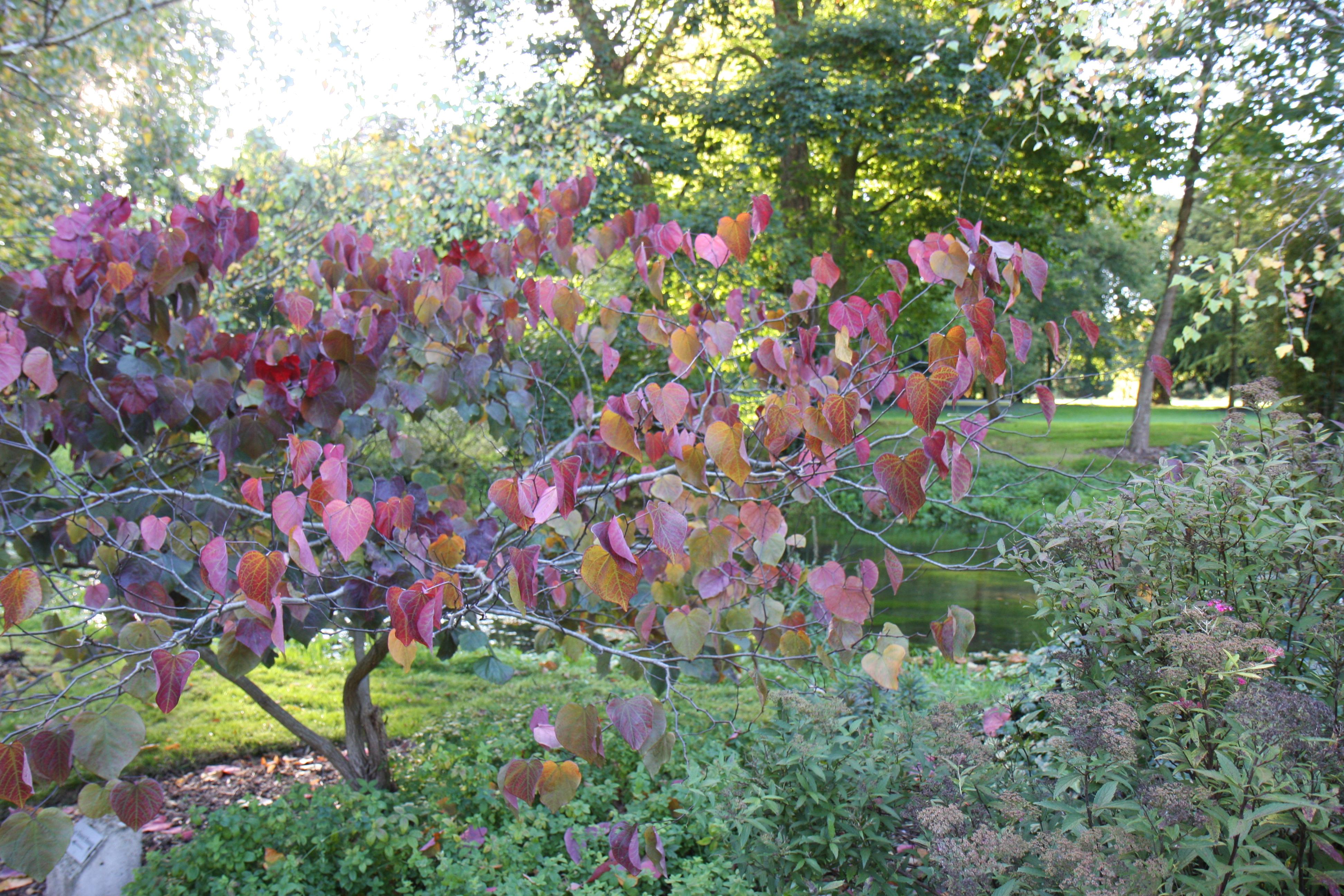 Arbre En Pot Terrasse arbre caramel : planter et entretenir – ooreka