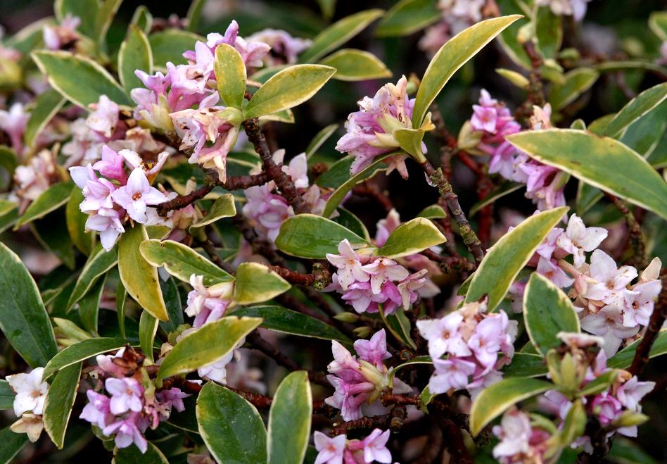 planter un daphne odora