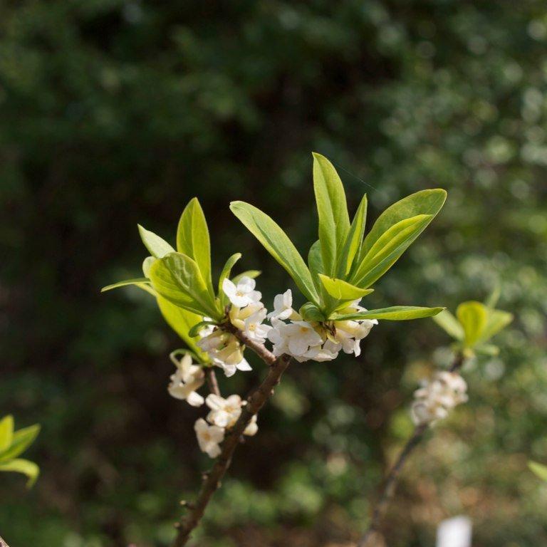 Espèces très rustiques Daphne mezerum f. alba