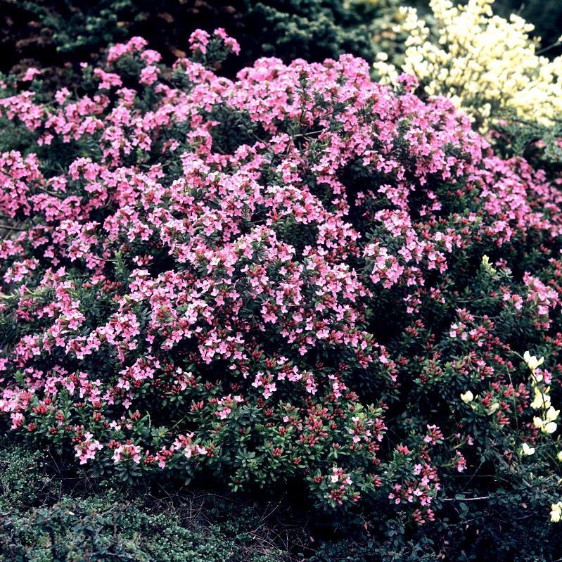 Espèces très rustiques Daphné camélée, thymélée des Alpes (Daphne cneorum)