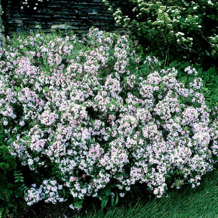 Espèces très rustiques Daphne x burkwoodii 'Somerset'