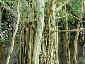 Plantation du ficus