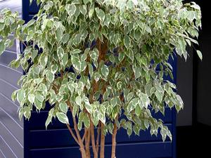 Ficus planter et tailler ooreka - Comment tailler un ficus ...