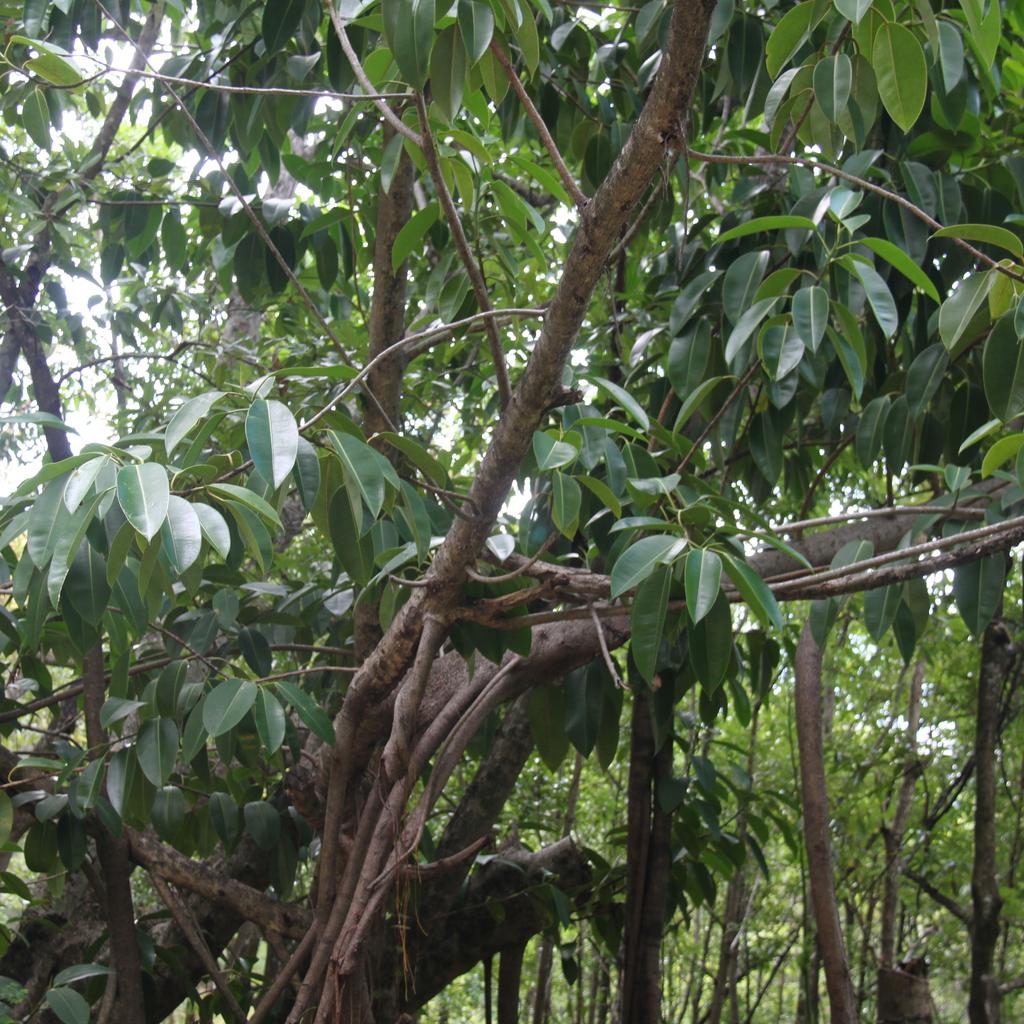 Banian (Ficus benghalensis)