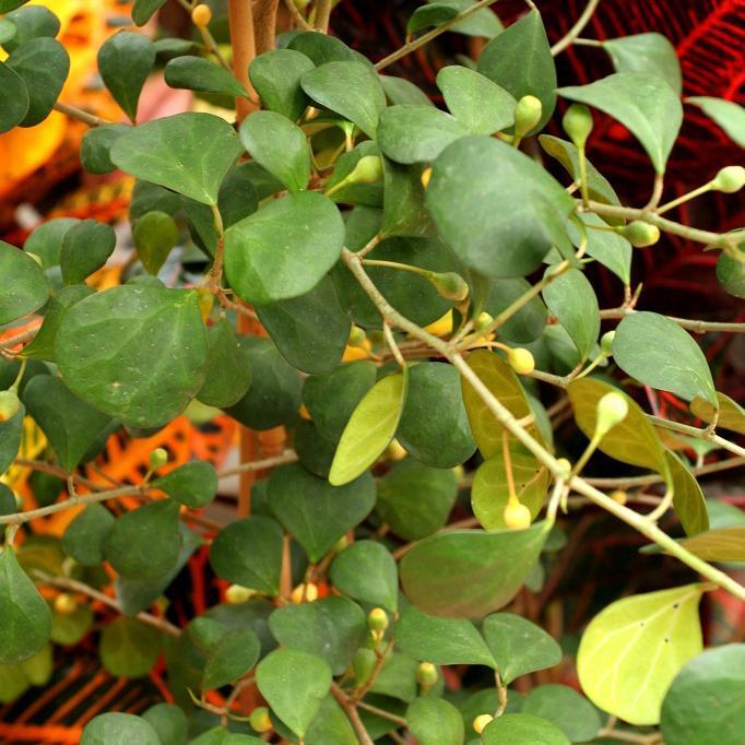 Ficus à feuilles différentes (Ficus deltoidea ou diversifolia)