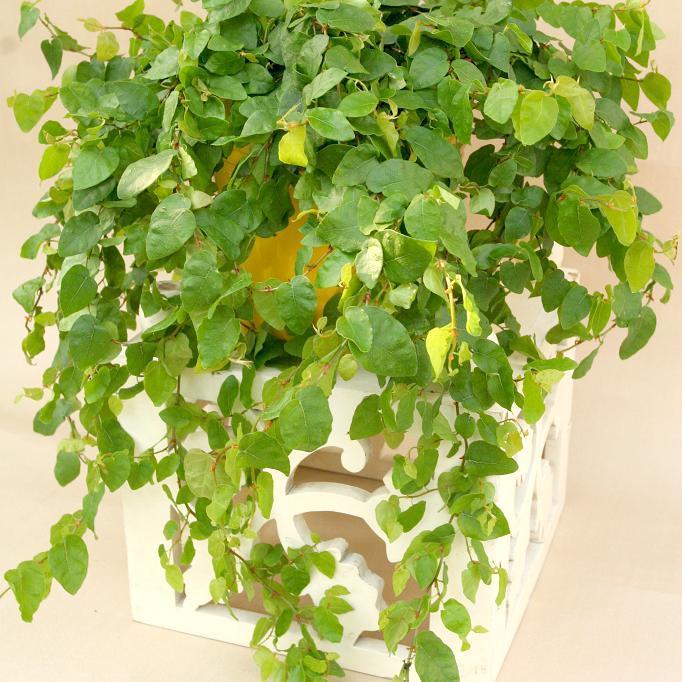 Figuier nain, Figuier rampant ou Figuier repenset (Ficus pumila ou repens)