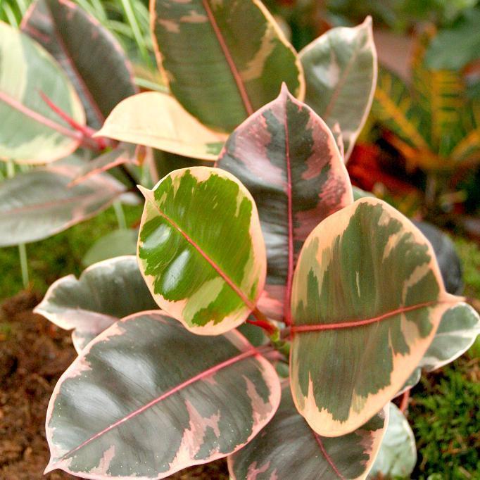 Caoutchouc (Ficus elastica)