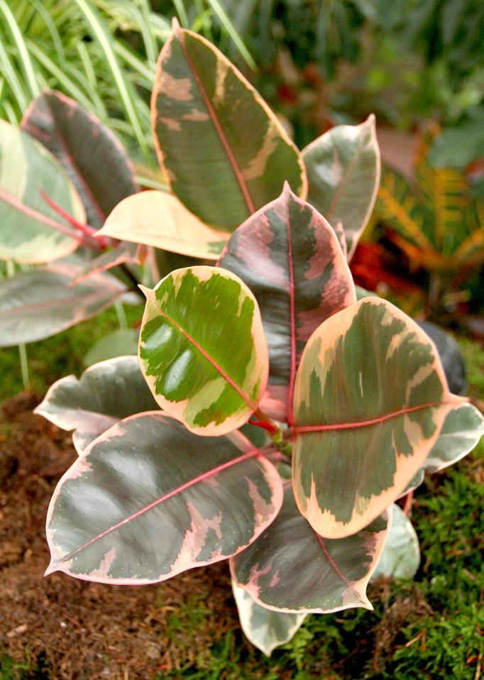 Ficus planter et tailler ooreka for Plante 8 feuilles