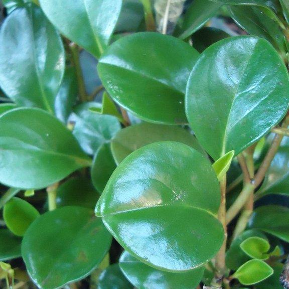 Ficus à feuilles de buis (Ficus buxifolia)