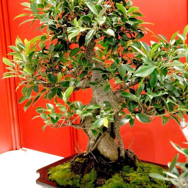 Arbre de l'intendance (Ficus retusa ou microcarpa)