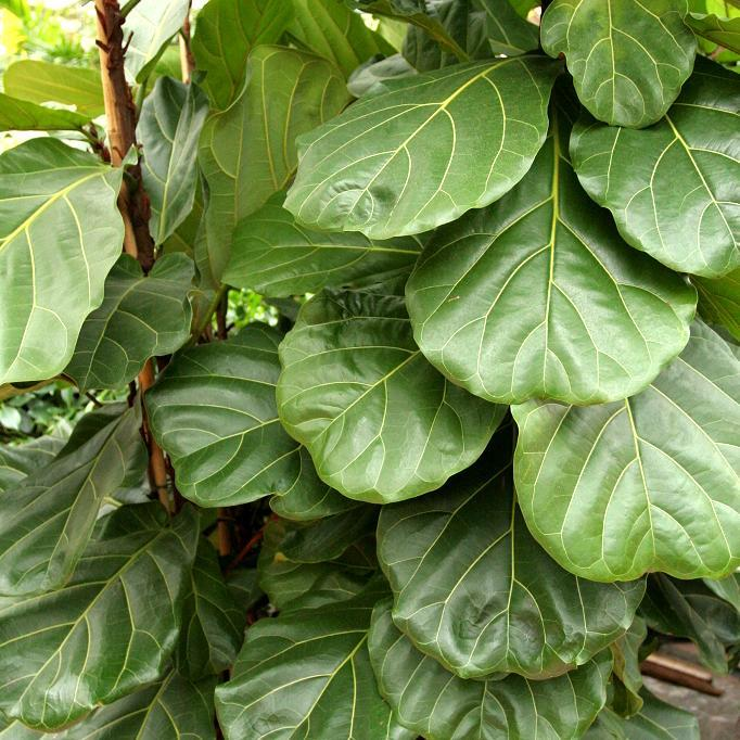 Figuier lyre (Ficus lyrata ou pandurata)