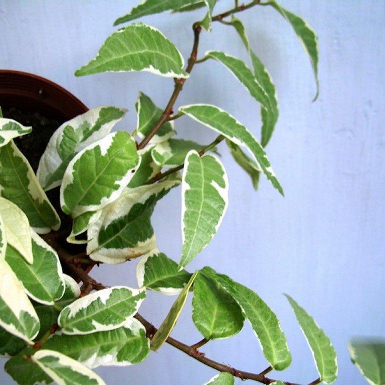 Ficus sagittata ou radicans