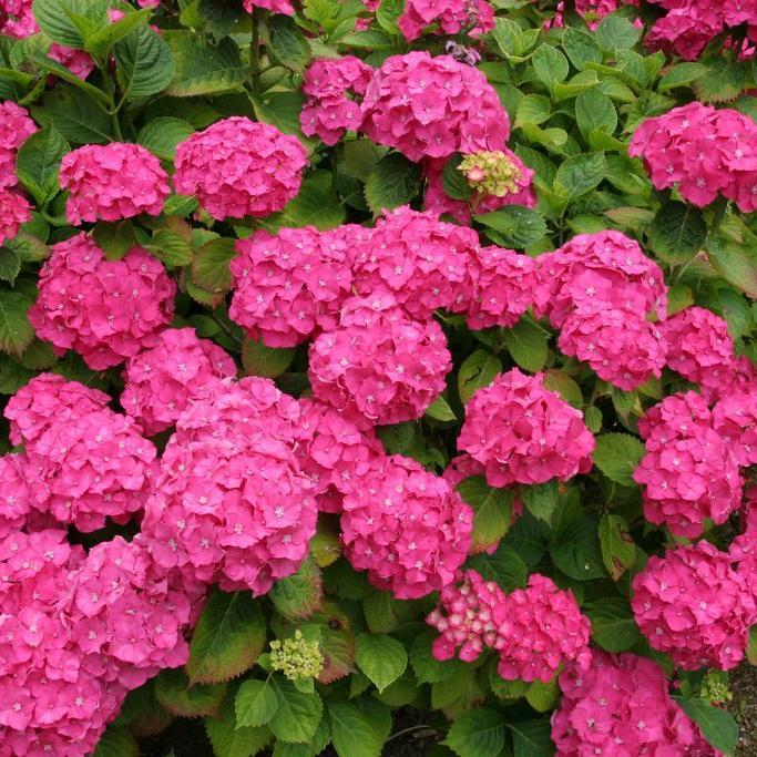 foto de Hortensia : planter et tailler Ooreka