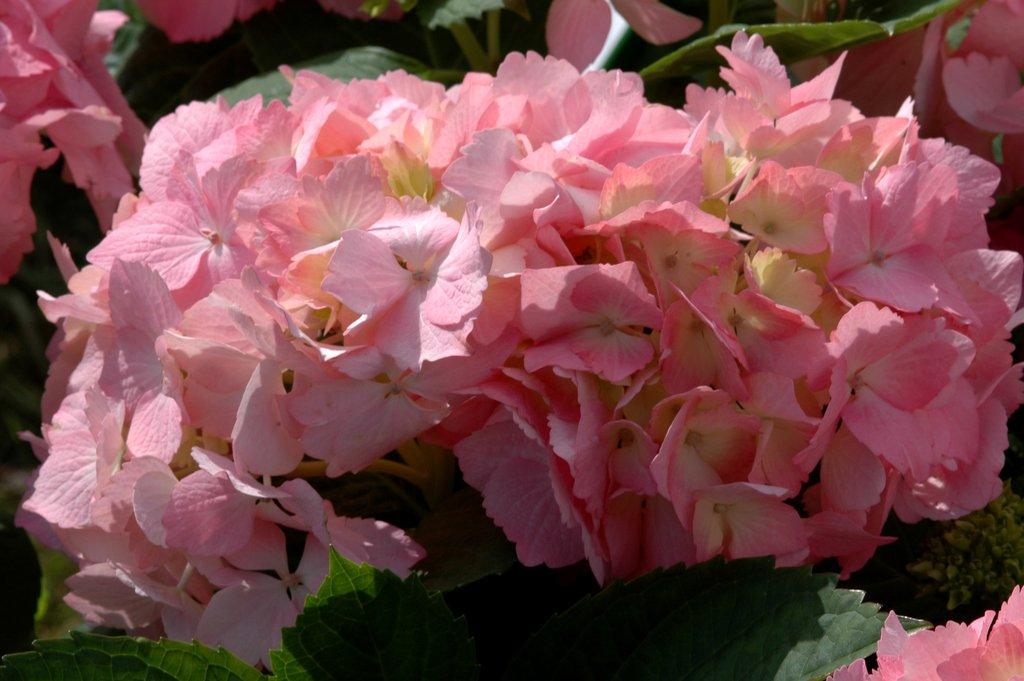 Hortensia planter et tailler ooreka - Faut il tailler les hortensias ...