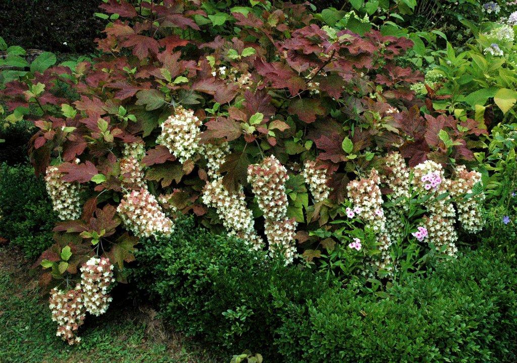 Hortensia planter et tailler ooreka - Faut il couper les fleurs fanees des hortensias ...