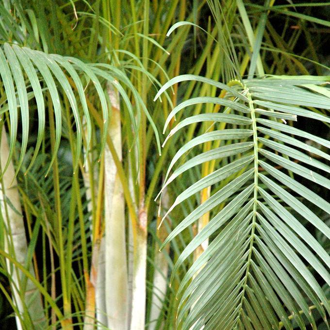 Aréca (Dypsis lutescens)