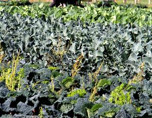 Culture et entretien du brocoli