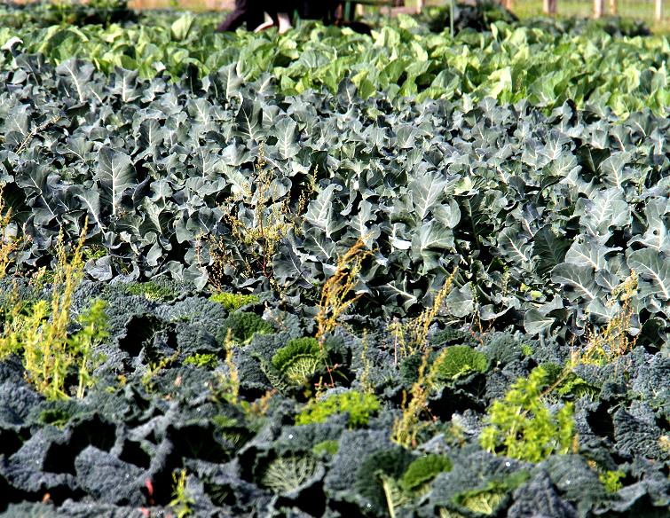 brocoli : planter et cultiver – ooreka